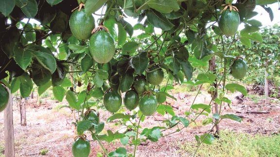 Maracuyá y frutas tropicales ganan hectáreas en San Javier