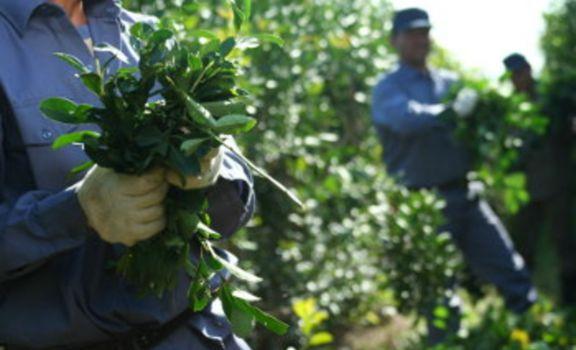 Nación ratificó la resolución del Inym que regula la plantación de yerba