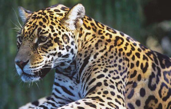 El tigre pitoco