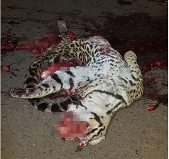 Atropellaron y mataron a un ocelote adulto