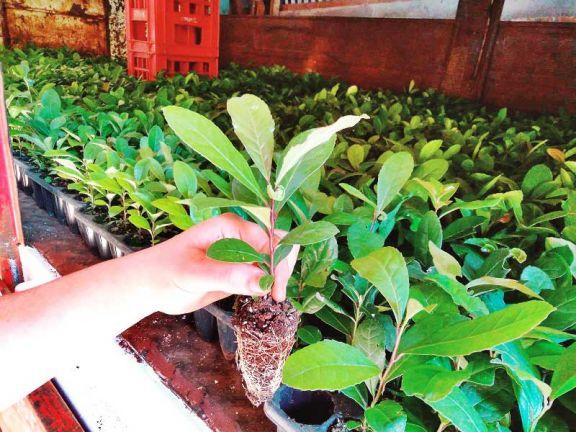 Productores están plantando yerba fuera de época