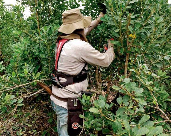Apuntan al control de calidad en la yerba mate misionera