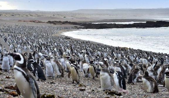 Con la llegada de los primeros pingüinos, se abrió al turismo la reserva de Punta Tombo