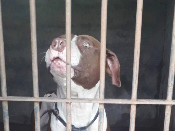Dieron de alta veterinaria a Dante, el pitbull que atacó a dos personas la semana pasada