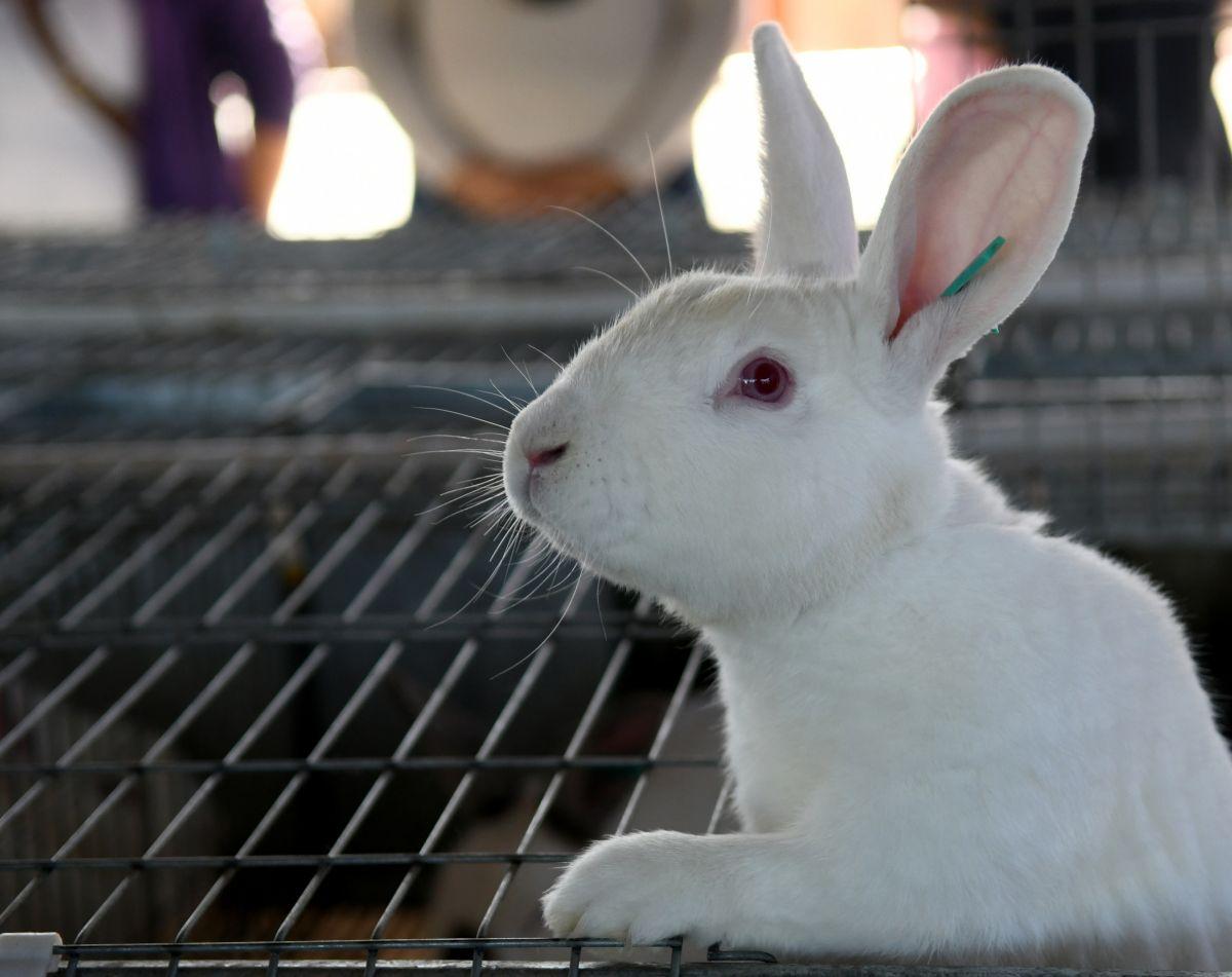 En Posadas se avanza con la cría de conejos para diversificar la producción de carne