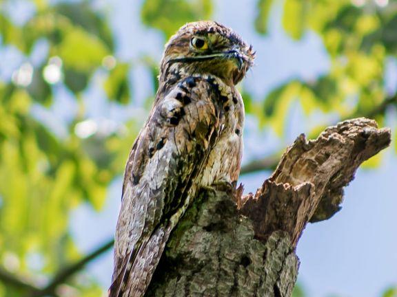 El urutaú se convirtió en el ave emblema de la ciudad de Eldorado