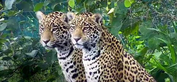 La yaguareté Arami ya recorre libre los esteros del Iberá