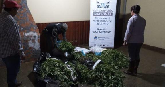 Hallan plantación de marihuana en una chacra de Irigoyen