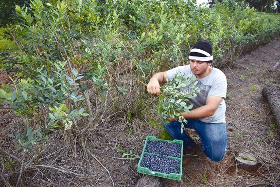 Arrancó la cosecha de arándanos en San Pedro y esperan suba en demanda