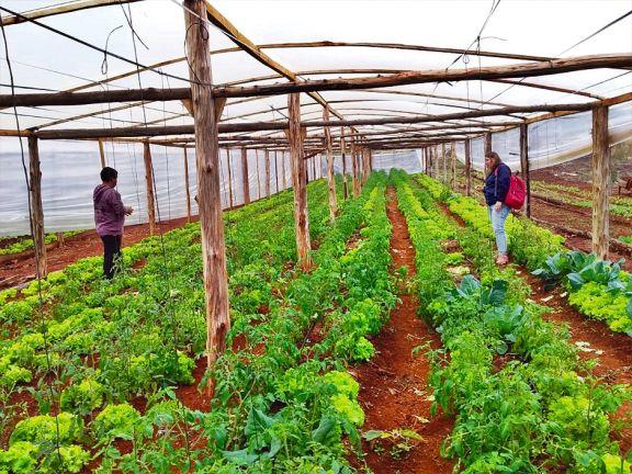 Productores abandonan el tabaco y se inclinan hacia la horticultura