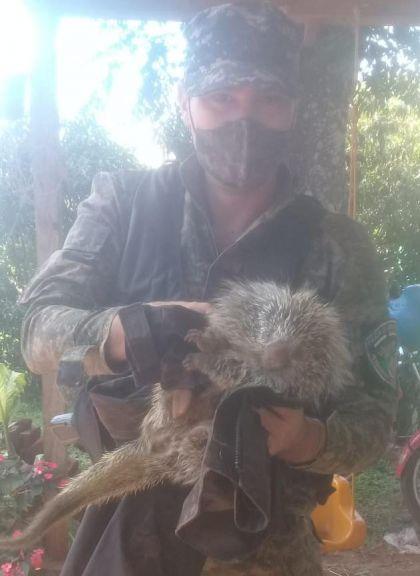 Resguardaron y pusieron a salvo a un erizo encontrado en un barrio de Posadas