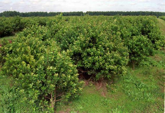 Preocupación por el aumento de nuevas plantaciones de yerba mate