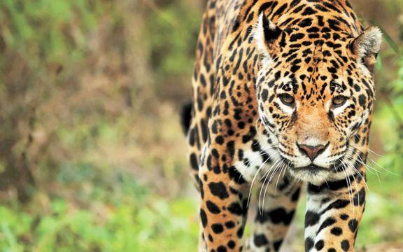 Intentando cazar un tigre