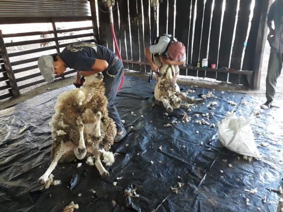 La temporada de esquila a pleno en la cuenca ovino-caprina del sur de Misiones