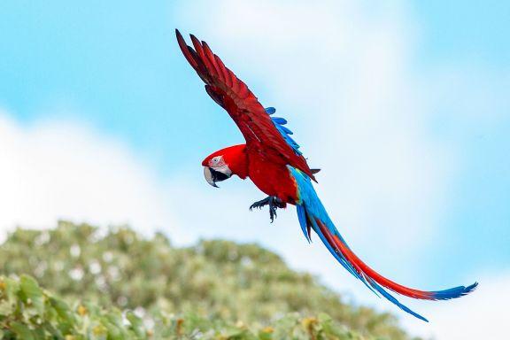 Nacieron tres guacamayos rojos en el Iberá, un gran paso para recuperar la especie