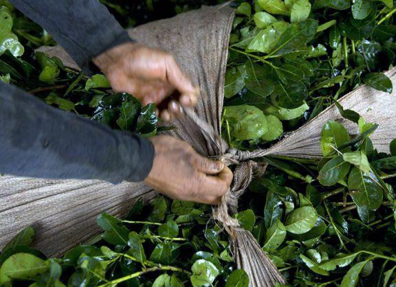 Las plantas de yerba mate se secan y piden no hacer zafriña