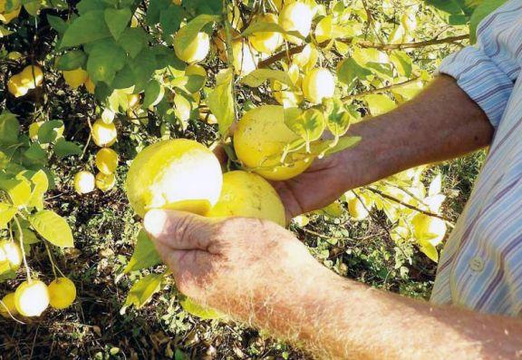 Gobierno reglamenta prórroga por un año de la emergencia citrícola