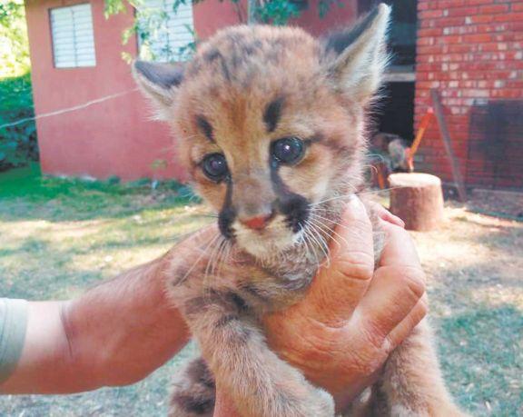 Rescatan un pequeño puma en El Alcázar