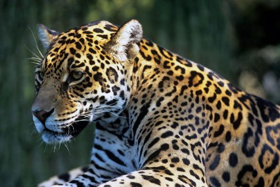Argentina, Brasil y Paraguay juntos por la conservación del yaguareté
