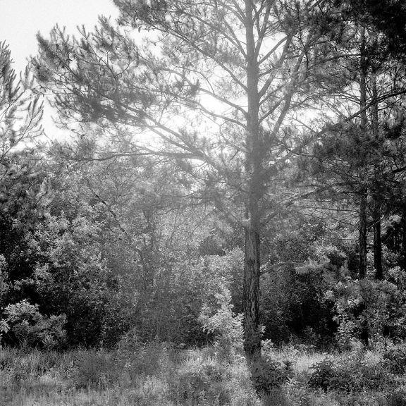 Breve biografía de un pino