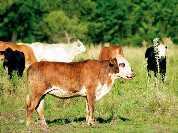 Ganaderos prevén disminución de la hacienda por efecto de la sequía