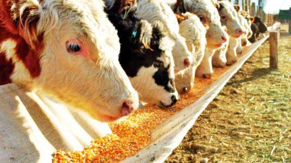 El conflicto del maíz afecta también a productores cárnicos