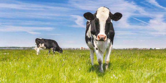 El cuero de la vaca