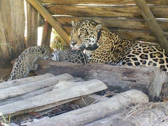 Liberaron a tres yaguaretés en el Parque Iberá