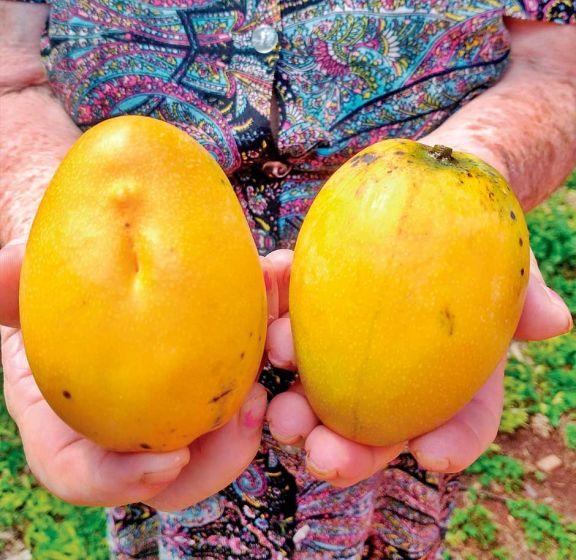 Mango, una fruta desperdiciada con mucho potencial de usos