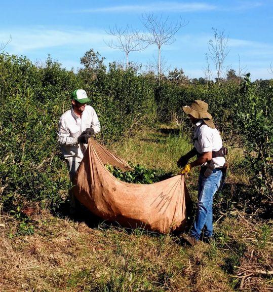 Por escasez, la hoja de yerba mate cotiza a precios estables y de contado