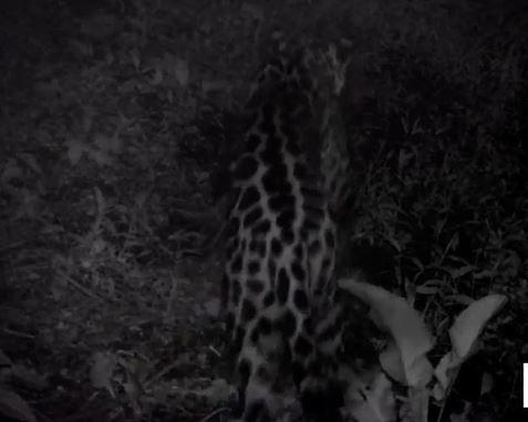 Registran con cámaras automáticas el paso de un yaguareté en una reserva natural jujeña