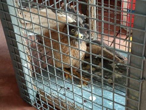 Jardín América: Rescataron a un gavilán herido y será entregado a Ecología