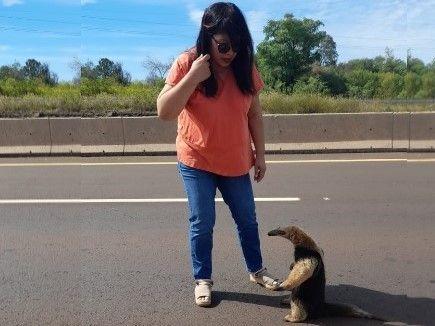 Paró el tránsito en plena autovía para poner a salvo a un oso hormiguero