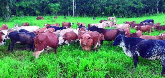 Colonos de Pozo Azul se vuelcan a la ganadería por su rentabilidad