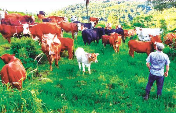 La ganadería le gana terreno al tabaco en Pozo azul