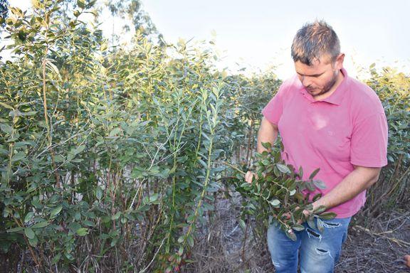 Tras recuperación de plantas, amplían el cultivo de arándanos