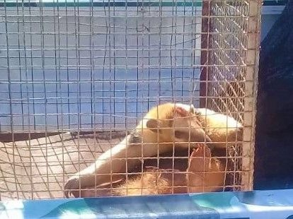 Sereno rescató un oso melero en la zona urbana de San Pedro