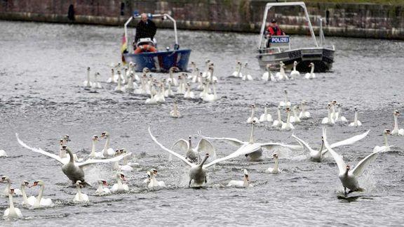Cisnes, dueños  del río