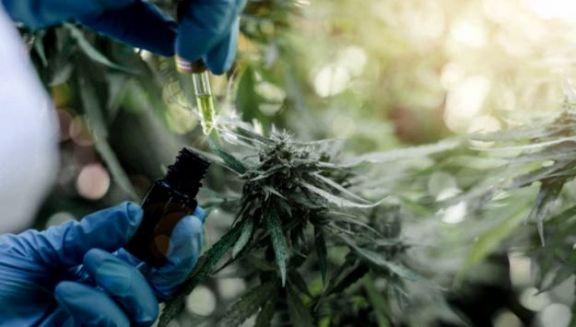 Es ley el acceso seguro al cannabis medicinal en Entre Ríos
