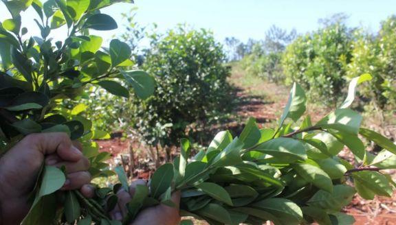 Misiones presentó los argumentos de su apoyo a la limitación de las plantaciones de yerba