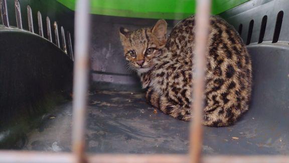 Rescatan a un felino silvestre de una vivienda en Bonpland