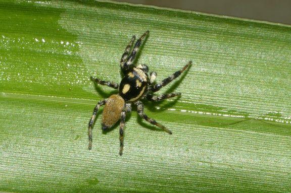 Detectaron una nueva especie de araña que habita en los pastizales de sur de Misiones