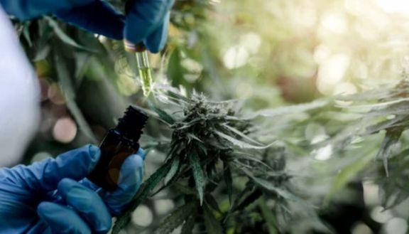Desarrollo Productivo presentará proyecto para la industria del cannabis medicinal