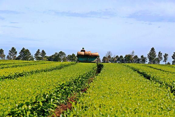 Expertos de Estados Unidos instan a fortalecer el consumo de té en jóvenes