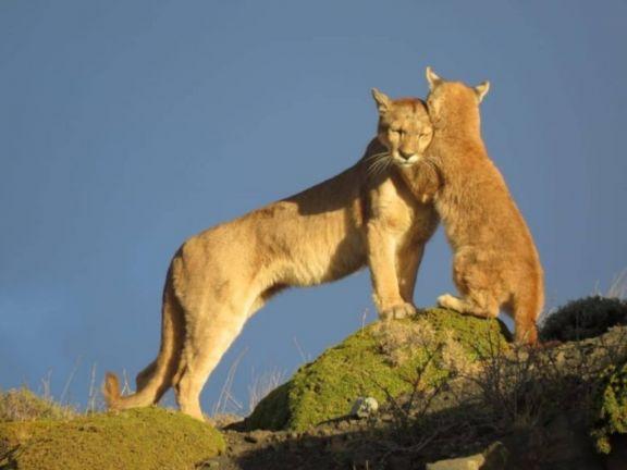 Gobierno de Chubut promulgó una ley para incentivar la caza de pumas y zorros colorados