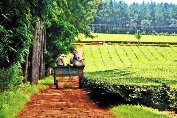 El semestre cierra con una fuerte merma en los cultivos de yerba y té