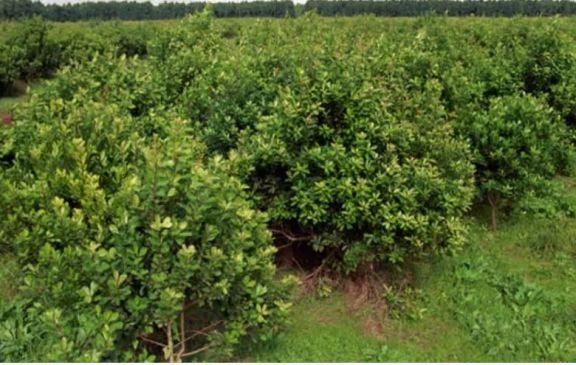 Copal rechazó la limitación a la plantación de yerba mate