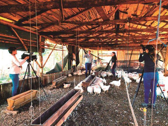Crían pollos para abandonar el cultivo de tabaco