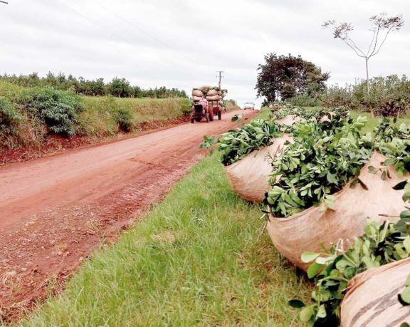Avanza la cosecha de yerba mate y observan bajos rindes